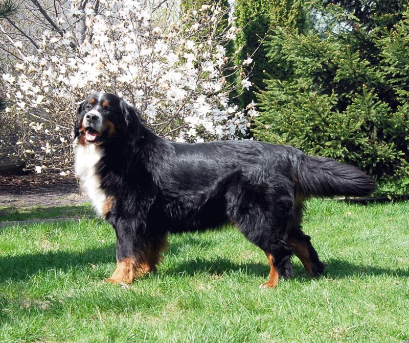 Bernese Mountain Dog Milbu Shilla