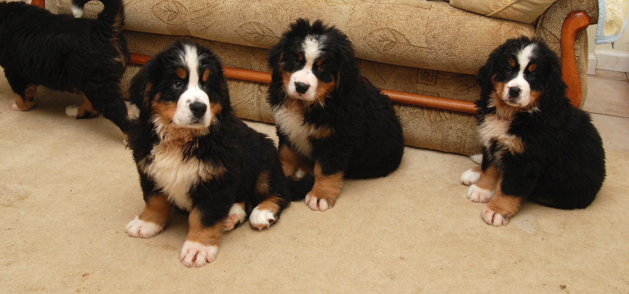 Berner puppies Royal Marine