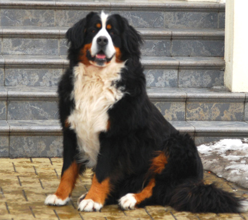 Berner Skazka Alpine Diamond