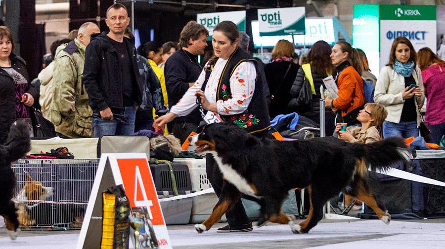 Бернский зенненхунд Дива на выставке собак