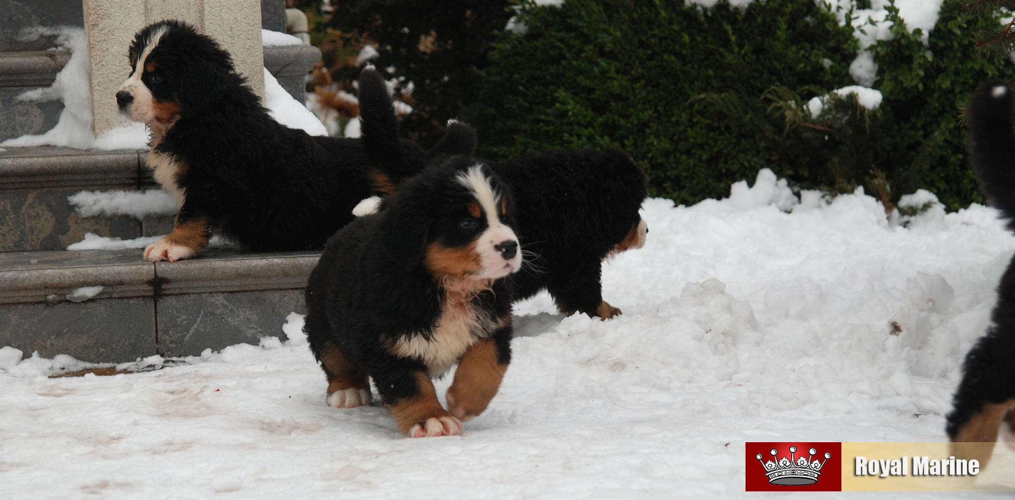 Купить щенка бернского зенненхунда