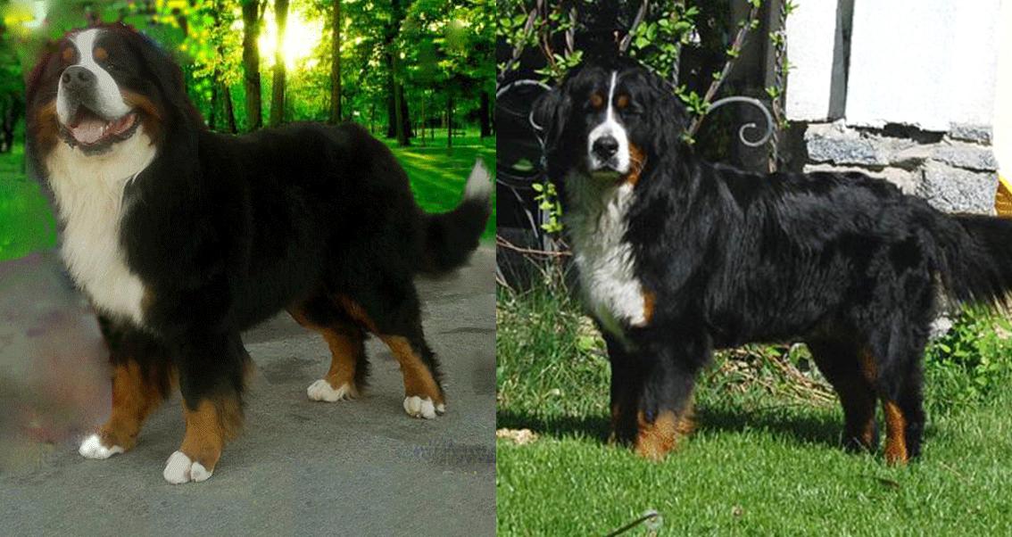 Bernese Mountain dogs Eldorado & Diva Royal Marine