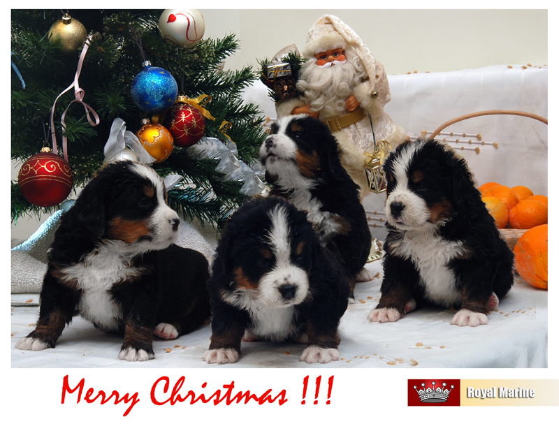 BMD puppies for sale